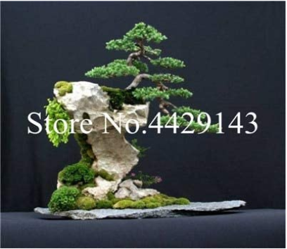 100 pcs Dawn Redwood Bonsai Tree Grove - Metasequoia Glyptostroboides,DIY Home Gardening! Very EasyTo Grow! Ornamental-Plant - (Color: 2)