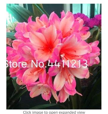 100 pcs Clivia Miniata Plant Gorgeous Bonsai Rare Bush Lily Flower Bonsai DIY Home Garden with High Ornamental Value