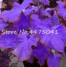 150 Pcs Multiple Colour Thailand Caladium Bonsai of Perennial Rainbow Flower Garden Potted Plant Caladium DIY Home Garden Plant