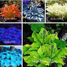 200 pcs Hosta Fragrant Plantain Lily Bonsai Perennial Flower for Home Garden Ground Cover Precious hosta Pot Plants - (Color: Mixed)
