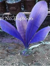 100 Pcs/Bag Purple Travelers Palm Flores Bonsai, Ravenala Madagascariensis Chinese Fan Palm Plant,Tall Evergreen Tree DIY Garden