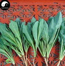 Isatidis Semente 200pcs Plant Traditional Medicine Herb Isatis Tinctoria Grow Indigowoad Root Ban LAN Gen