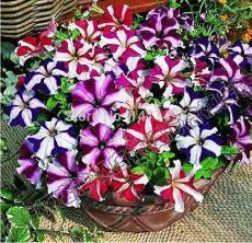 Petunia Bonsai 100 Seeds Garden Home Flowers Balcony Flowers