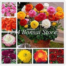 100 pcs Ranunculus Flower Plants Seeds Ranunculus Flower Bonsai Perennials Flower De Flores Jardinagem - (Color: Mixed)