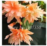 50 Pcs/Bag Bonsai Mixed Rieger Begonias Beautiful Bonsai Multi-Flap Flower Decoration Home Mini Garden Potted Planting