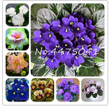 50 Pcs Mini Violet Bonsai Rainbow Flower Plants Rare African Perennial Herb Indoor Flowers Matthiola Incana Garden Plants - (Color: Mixed)
