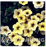 Mini Calibrchoa Million Bells Annual Flower Bonsai, Vary Colors 100PCS Autumn Seasons Indoor Balcony Easy to Plant Flower Plant