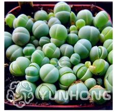 100PCS Ball Conophytum vanzylii Cactus Bonsai Rare Succulent Plant Bonsai Celestial Flower Pot planters Flores