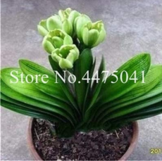 Hot 100 Pcs Colorful Clivia Miniata Bonsai, Indoor Gorgeous Seed Bush Lily Flower Plant,Home Garden with High Ornamental Value - (Color: 17)