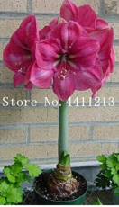 100 pcs/Bag True Amaryllis Flower Not Bulbs Seed Flower, Hippeastrum for Home&Garden Barbados Lily Flower Pot - (Color: 2)