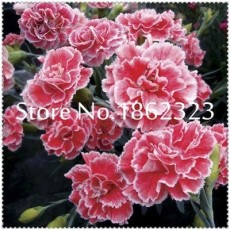 200 pcs Rare Carnations Bonsai Flowers Bonsai Dianthus Caryophyllus Flowers Bonsai for Home Garden Planting Mom Gift