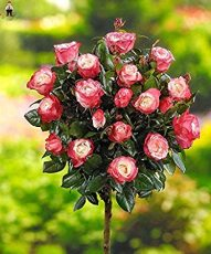 200Pcs Rare MUL-Color Rose Amazingly Beautiful Indoor Rainbow Roses Tree Bonsai Flower Potted Plants Garden Easy Grow - (Color: Multi-Colored)