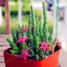 Stapelia Pulchella Bonsai Lithops Mix Succulents Raw Stone Cactus Plant Rare for Home Garden Flower Bonsai Plants 100 Pcs