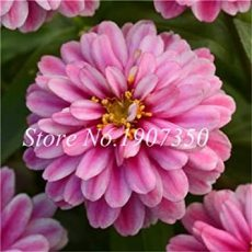 100 Pcs Long Flowering Period Bonsai Zinnias Elegans Widely Cultivated Common Bai Ri Cao Light Up Your Personal Garden - (Color: 13)