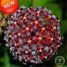 Hoya Bonsai,Potted Hoya Carnosa Flower Flores Garden Plants Perennial Planting Orchid Plantas 100 PCS/Pack