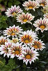100 Pcs Gorgeous Gazania Rigens Bonsai, Rare Beautiful Flower Plant Popular Africa Bonsai for DIY Home Garden Supplies Bonsai
