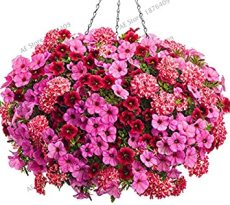 100PCS Hanging Petunia Flores Melissa Original Flower plantas Perennial Flowers for Home Garden Bonsai Pot Planting - (Color: Mix)