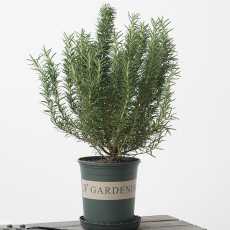 50PCS Rosemary Seeds Small Evergreen Herbal Plant Edible Bonsai with Blue Flowers