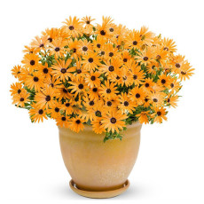 200PCS Orange Dimorphoteca sinuata Seeds Annual Namaqualand Daisy Herb Plants Bonai African Daisy