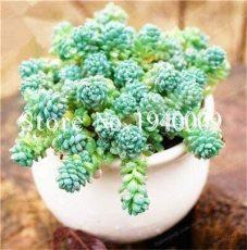 200 Pcs/Bag Sedum Dasyphyllum Bonsai Succulents Plants Bonsai Flower Bonsai Variety Complete Potted Interesting Plants - (Color: 1)