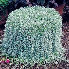 Dichondra Repens Silver Falls Emerald Falls Ground Cover Bonsai in Hanging Baskets Very Creative Beautiful Potted Plants 100Pcs - (Color: 1)