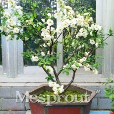 20PCS White Begonia Bonsai Flower Bonsai 100% True Malus Spectabilis Potted Begonia Bonsai Tree DIY Home Garden Plants