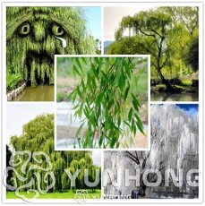 50 Pieces Beautiful True Seeds Fresh Giant Garden Decoration Green Willow Tree Seeds For Home Garden Plant Bonsai