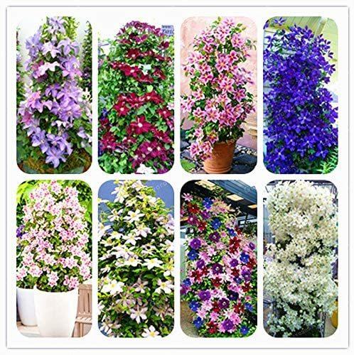 100floresbag climbing clematis bonsai,perennial courtyard bonsai flower plants for home garden