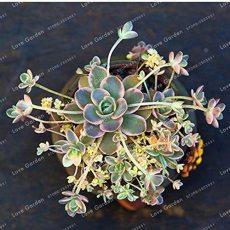 New Bonsai Green Orostachys Boehmeri Flower Pots Planters Succulent Plants for Home Garden 100 Pcs