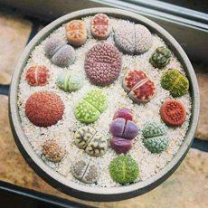 100 Pcs Beauty Mixed Mini Lithops Bonsai Plants Cactus Bonsai Plants Organic Garden Succulent Bonsai Balcony Flower Planting - (Color: Blue)