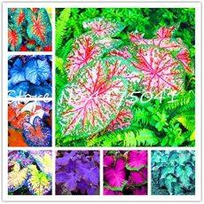 150 Pcs Multiple Colour Thailand Caladium Bonsai of Perennial Rainbow Flower Garden Potted Plant Caladium DIY Home Garden Plant - (Color: Mixed)