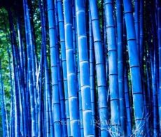 Rare Purple Timor Bambusa Black Bamboo Plant bonsais Easy Grow Courtyard 50 PCS - Package Organic Bonsai Home - (Color: 4)