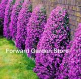 100 Pcs Aubrieta Cascade Bonsai Purple Flower Plants Superb Perennial Ground Cover for Home Garden Balcony Windowsill