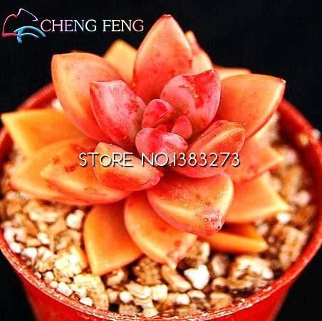 10pcs Crassula Capitella Thyrsiflora Red Pagoda Succulent Cactus Bonsai Jatropha Tree Herbs Plants Bonsai Mini Pot - (Color: Light Grey)