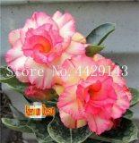 100% True Desert Rose Bonsai Ornamental Plants Balcony Bonsai Potted Flowers Drawf Adenium Obesum Bonsai -1 Particles/lot - (Color: 8)actus Bonsai Jatropha Tree Herbs Plants Bonsai Mini Pot - (Color: Light Grey)