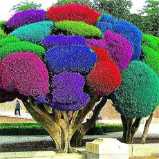 50pcs Rainbow Pine Tree Plants Japanese Bonsai Perennial Pinus Thunbergii plantas Outdoor Garden Giant Tree - (Color: Multi-Colored)