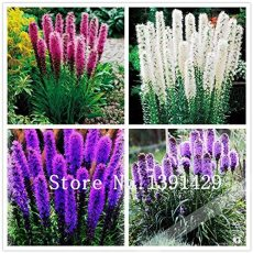 100pcs Liatris spicata seeds Rare Flamingo cockscomb (celosia spicata) Bonsai Plant, garden ornamental flowers. Mixed Colors - Arcis New