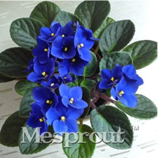 100pcs Beautiful Plant Bonsai Flower Bonsai African Red Purple Mini Blue Violet Bonsai Rare Jardin Houseplants Bonsai - (Color: 3)