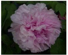 10cs 'Paeonia suffruticosa Andr' Tree Peony Bonsai,Rare Beautiful Garden Flower Mix Color - (Color: 7)