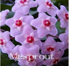 Hoya Carnosa Bonsai, Hoya Fleshy Flower Bonsai Garden Plants, Perennial Planting 100 Bonsai Houseplants