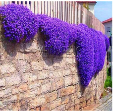 Genuine!Creeping Thyme Bonsai or Blue Rock CRESS Plant - Perennial Ground Cover Flower,Natural Growth for Home Garden,100flores - (Color: 1)