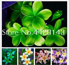 Kasuki 100 Pcs Plumeria (Frangipani, Hawaiian Lei Flower) Bonsai, Rare Exotic Flower Flores Egg Flower Potted Plants for Home Garden - (Color: Mixed)