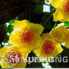 Golden Yellow Rare Camellia Nitidissima Bonsai 50PCS, Magical Oriental Yellow Camellia Shrub Bonsai, Theaceae Family Bonsai - (Color: 4)