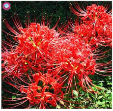 Bonsai 200pcs/bag manjusaka mandarava Beautiful Flower Planting Potted for Home Garden Decoration Supplies - (Color: 10)