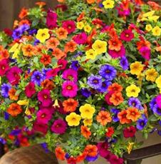 +200pcs Hanging Petunia Mixed Flores Color Waves Beautiful Flowers for Garden Plant Bonsai Flower plantas,#BJLC4O - (Color: 1)