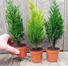 Kasuki 50 PCS Italian Cypress Tree Seeds Cupressus Sempervirens Home Garden Bonsai Planting Seeds