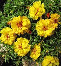 100 Pcs Mixed Color Moss-Rose Purslane Double Flower Bonsai for Planting (Portulaca Grandiflora) Heat Tolerant Easy Growing - (Color: 2)