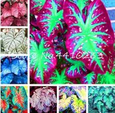 Bonsai 100 Pcs Multicolor Caladium Bonsai Caladium Bicolor Bright Leaf Flower Indoor Plants Bonsai Colocasia Pot Plant for Home