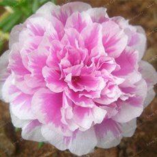 100 Pcs Mixed Color Moss-Rose Purslane Double Flower Bonsai for Planting (Portulaca Grandiflora) Heat Tolerant Easy Growing - (Color: 6)