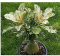 100% True Desert Rose Scarce Grafted Variegated Leaves Petals Potted Home Garden Flowers Bonsai Plants Adenium Obesum 1 PCS